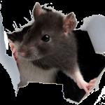 Derattizzazione Ratti Testa Di Lepre