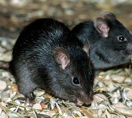 Derattizzazione Rattus Rattus